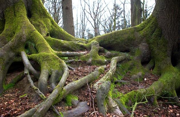 Les racines de deux arbres s'enlacent - Cykoalfadiscobeta/Flickr/CC
