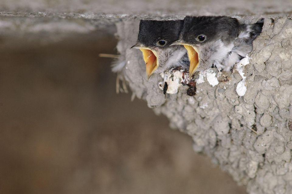eunes hirondelles de fenêtre au nid. Depuis 2008-2009, les déclin des oiseaux des champs est de plus en plus marqué. Cela correspond à la flambée des cours du blé et à la généralisation des insecticides neurotoxiques très persistants. Photo Christian Décout. Biosphoto